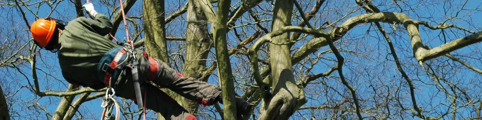 Tree pruning in Rufford