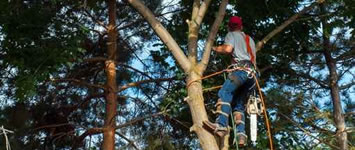 Tree felling by arborists in Southport